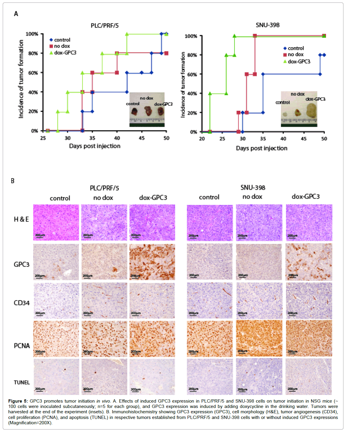 stem-cell-research-therapy-GPC3-promotes-tumor