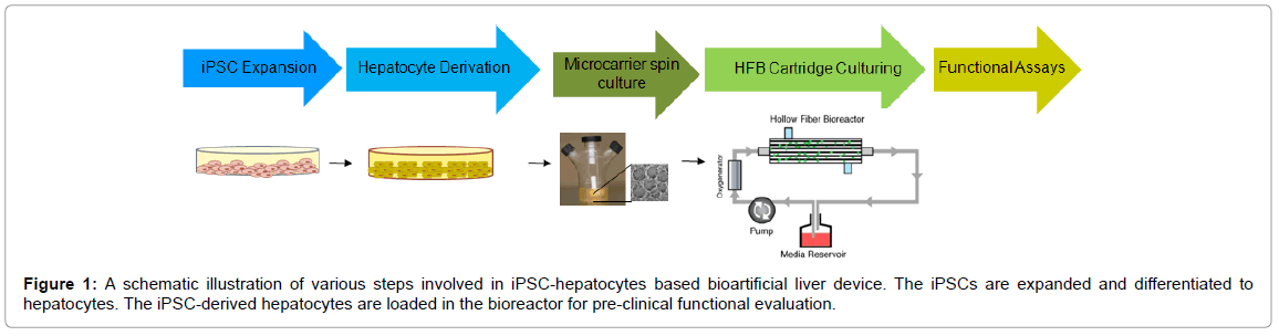 stem-cell-research-therapy-iPSC-hepatocytes-bioartificial