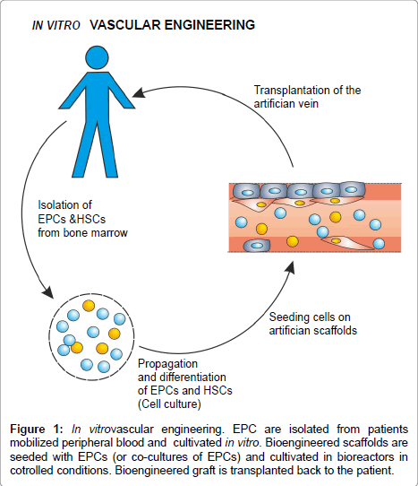 stem-cell-research-therapy-mobilized-peripheral