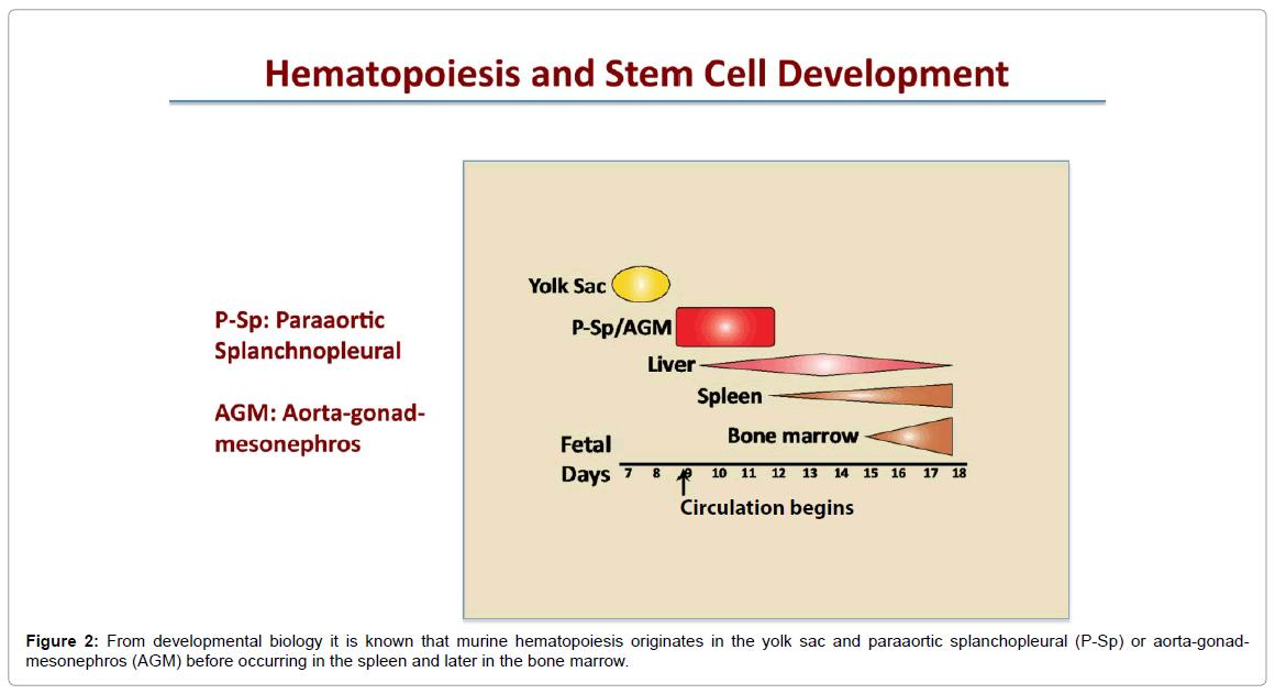 stem-cell-research-therapy-murine-hematopoiesis-originates
