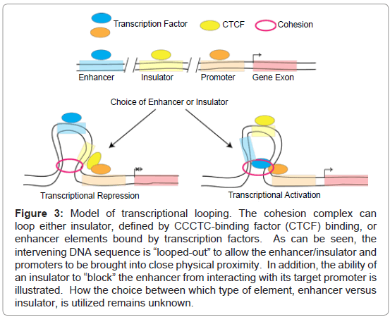 stem-cell-research-therapy-transcriptional-looping