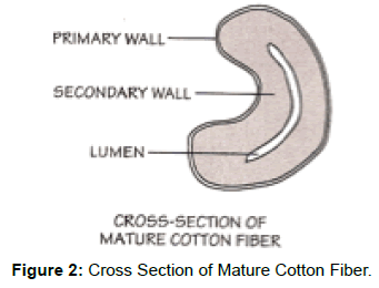 textile-science-engineering-cross-section-mature-fiber