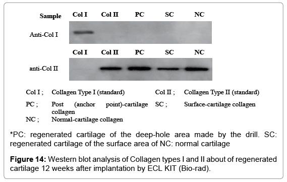 tissue-science-engineering-Western-blot
