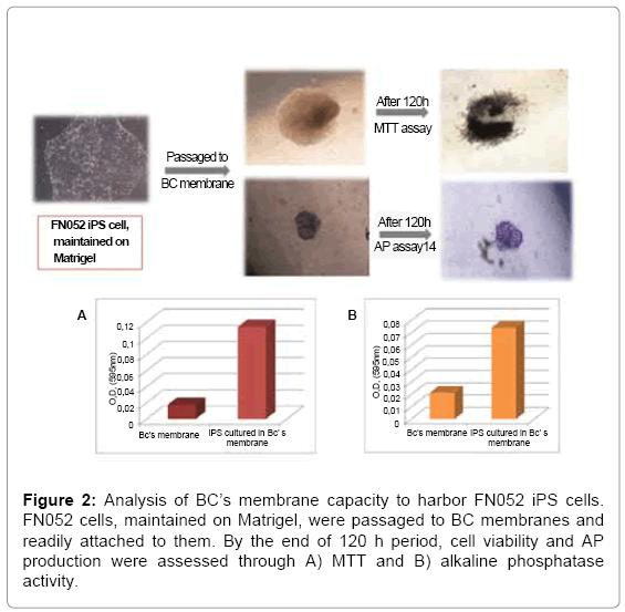 tissue-science-engineering-alkaline-phosphatase