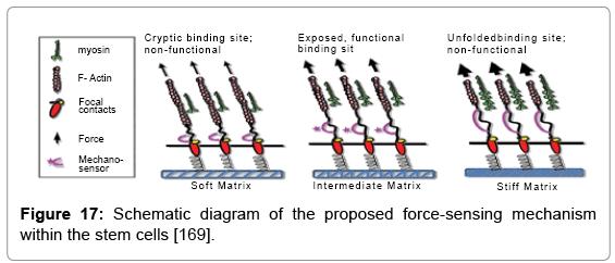 tissue-science-engineering-force-sensing