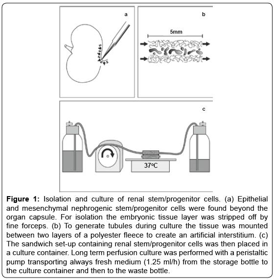 tissue-science-engineering-mesenchymal-nephrogenic