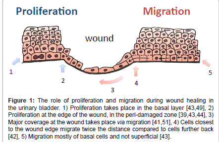tissue-science-engineering-proliferation-migration