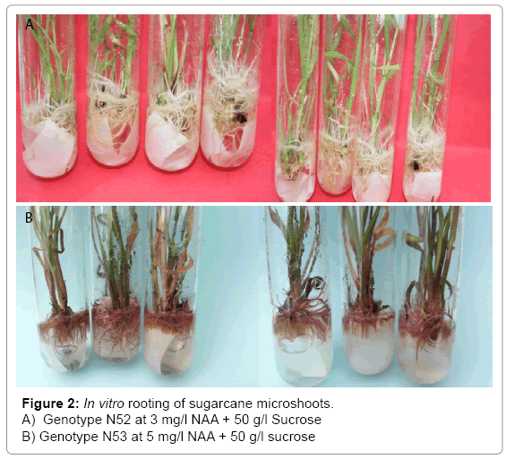 tissue-science-engineering-sugarcane-microshoots