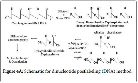 toxicology-dinucleotide-postlabeling