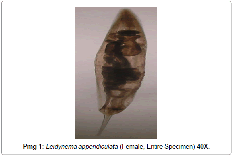 veterinary-science-technology-Leidynema-appendiculata
