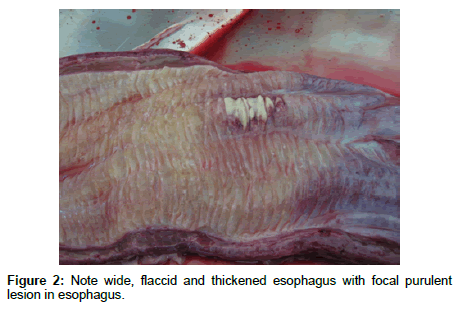 veterinary-science-technology-thickened-esophagus