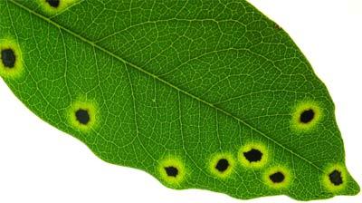 Essential Plant Pathology