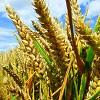 Genetic engineering crops