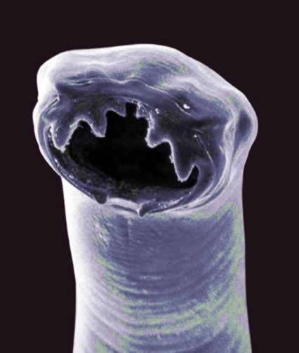 helminths aschelminthes gordius nematomorpha parasitic