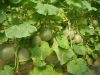 Hybrid Seed Technology