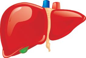 Liver Drug Metabolism