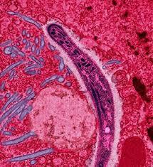Malaria parasites