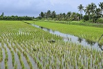 Rice and Aquaculture