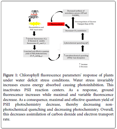 Drought Tolerance Mechanisms in Plants: Physiological Responses
