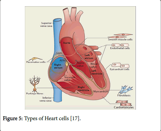 biological-medicalsciences-Heart-cells