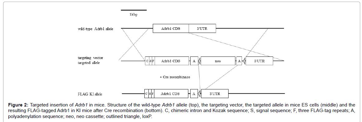 alzheimers-disease-parkinsonism-Adrb1-allele