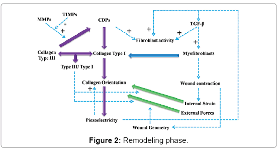 biosensors-journal-Remodeling-phase