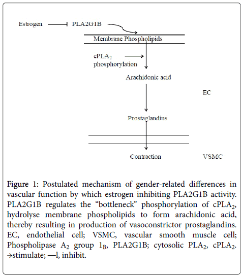 cardiovascular-pharmacology-vascular-function
