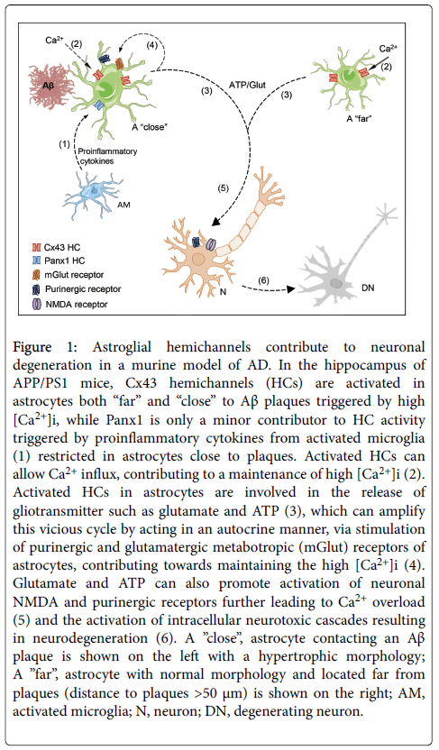 cell-signaling-Astroglial-hemichannels