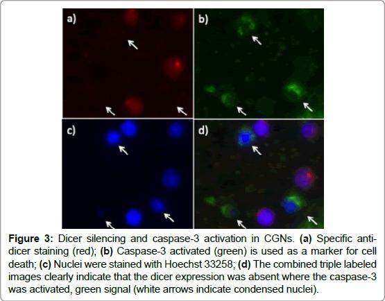 cytology-histology-Dicer-silencing