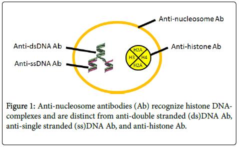lupus-Anti-nucleosome
