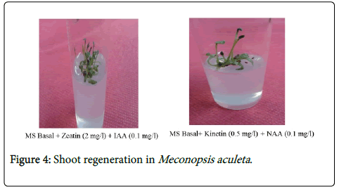 medicinal-aromatic-plants-Shoot-regeneration