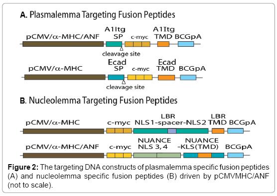 molecular-genetic-medicine-DNA-constructs
