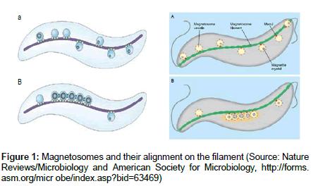 physical-chemistry-biophysics-Magnetosomes