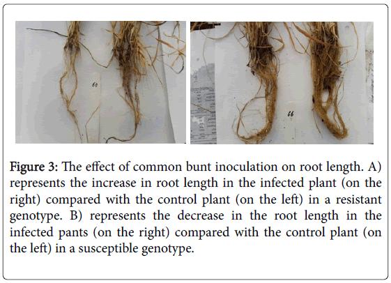 plant-genetics-breeding-common-bunt-inoculation