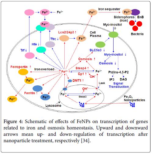 toxicology-iron-pathway